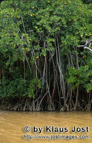 Red Mangrove/Rhizophora mangle L.         Mangrove thicket on the river after heavy rain
