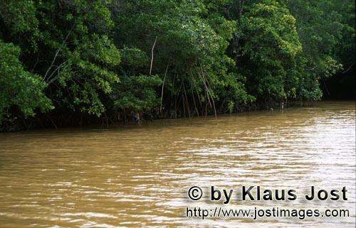 Red Mangrove/Rhizophora mangle L.         Mangroves after heavy rain in the river