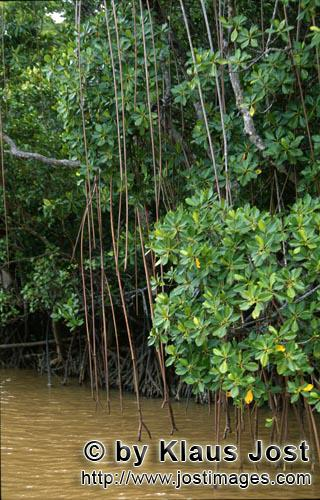 Red Mangrove/Rhizophora mangle L.         Red Mangroves in brackish water