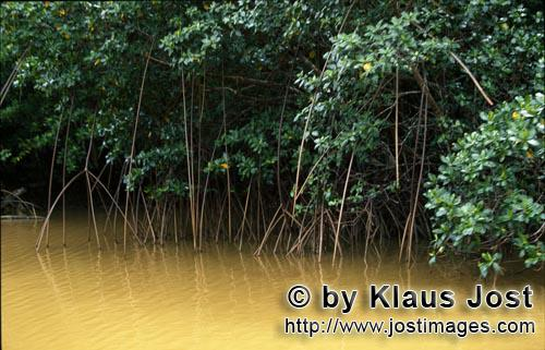Rote Mangrove/Red Mangrove/Rhizophora mangle         Red Mangroves in the loamy river water