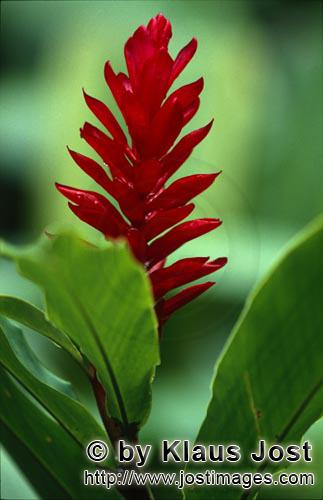 Purpurfarbener Ingwer/Red Ginger/Alpinia purpurataRed Ginger