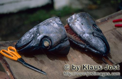 Pacific Harbour/Vitu Levu/Fiji        Transmitter will be installed in these fish heads