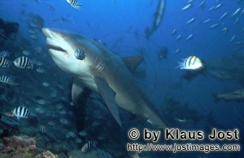 Bull Shark/Carcharhinus leucas        Bull shark passed me with a peculiar expression        At the