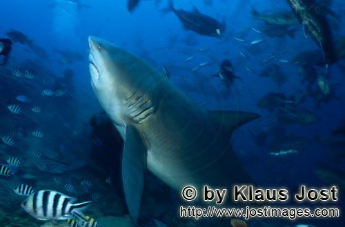 Bull Shark/Carcharhinus leucas        Bull Shark heavyweight        Together with the Tiger Shark an
