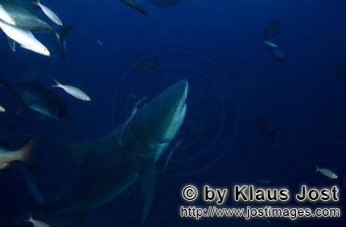 Bull Shark/Carcharhinus leucas        Bull shark is heading upwards        Together with the Tiger S