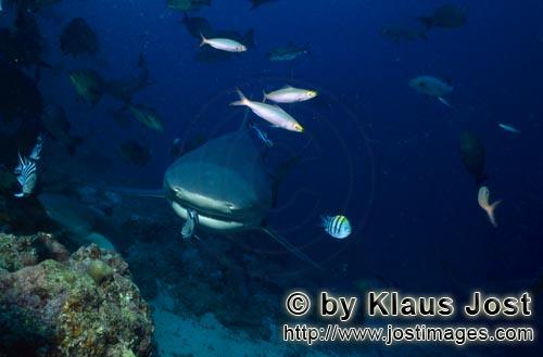 Bull Shark/Carcharhinus leucas        Small fish in front of the bull shark mouth        Together wi
