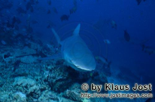 Bull Shark/Carcharhinus leucas        Young bull shark above the reef bottom        Together with th
