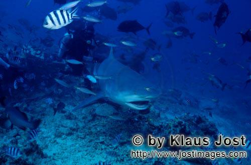 Bullenhai/Carcharhinus leucas        Bull shark with open mouth        Together with the Tiger Shark