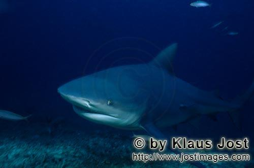 Bull Shark/Carcharhinus leucas        A bull shark comes from the blue depth        Together with th