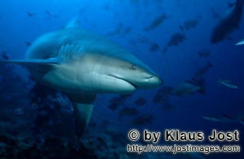 Bullenhai/Bull Shark/Carcharhinus leucas        Bull changes the direction        Together with the