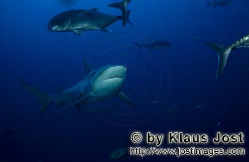 Bull Shark/Carcharhinus leucas        Bull shark and giant trevallys        Together with the Tiger