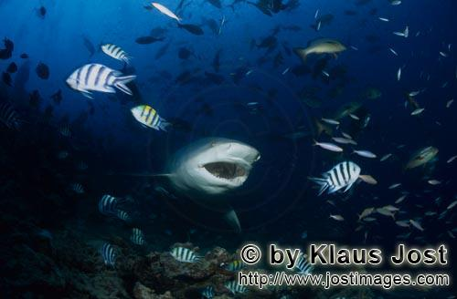 Bull Shark/Carcharhinus leucas        Bull shark with open mouth        Together with the Tiger Shar