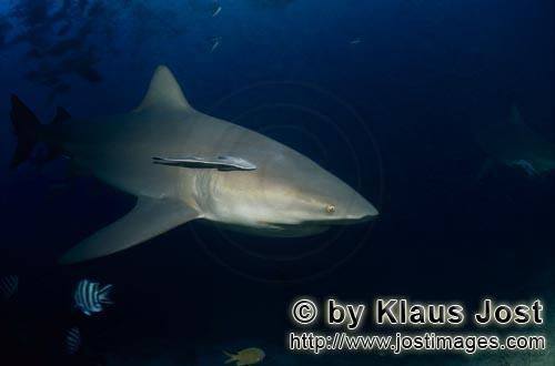 Bull Shark/Carcharhinus leucas        Bull shark (Carcharhinus leucas)        Together with the Tige