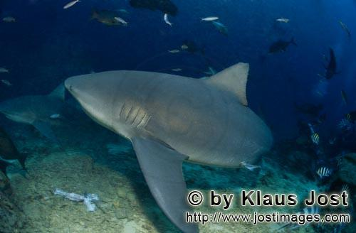 Bull Shark/Carcharhinus leucas        Bull shark changes direction        Together with the Tiger Sh