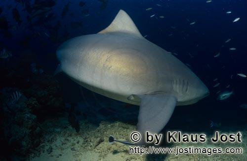 Bull Shark/Carcharhinus leucas        Bull turns away from the reef        Together with the Tiger S