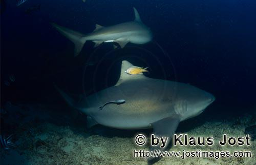 Bull Shark/Carcharhinus leucas        Two bull sharks on the reef edge        Together with the Tige