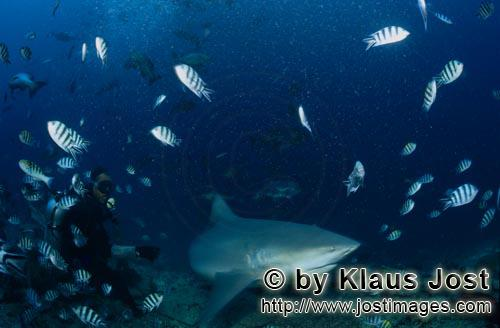 Bull Shark/Carcharhinus leucas        Bull Shark with diver        Together with the Tiger Shark and