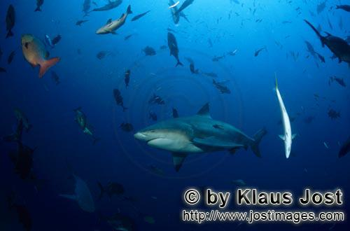 Bull Shark/Carcharhinus leucas        Bull Shark and many other fish species        Together with th