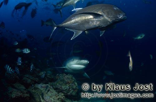 Bull Shark/Carcharhinus leucas        Bull Shark with large Giant Trevally        Together with the