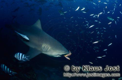 Bull Shark/Carcharhinus leucas        Two fusiliers just before the bull shark mouth        Together
