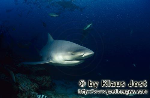 Bull Shark/Carcharhinus leucas        Highly concentrated Bull Shark        Together with the Tiger
