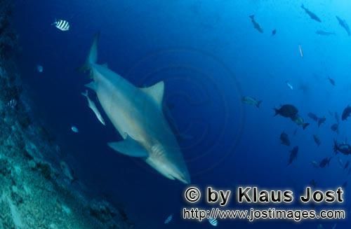 Bull Shark/Carcharhinus leucas        Bull shark diving off        Together with the Tiger Shark and