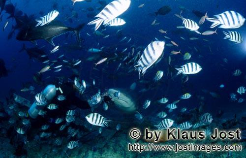 Bull Shark/Carcharhinus leucas        Bull sharks, divers and many reef fish        Together with th