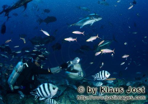 Bull Shark/Carcharhinus leucas        Bull shark and diver        Together with the Tiger Shark and