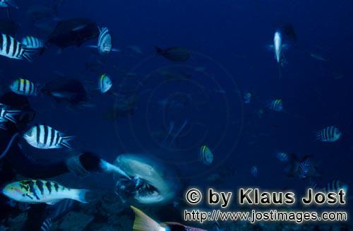 Bull Shark/Carcharhinus leucas        Bull Shark with colorful reef fishes        Together with the