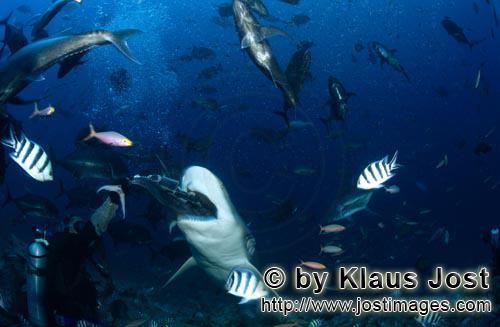 Bull Shark/Carcharhinus leucas        Wide open the Bull his mouth for the baitfish        Together