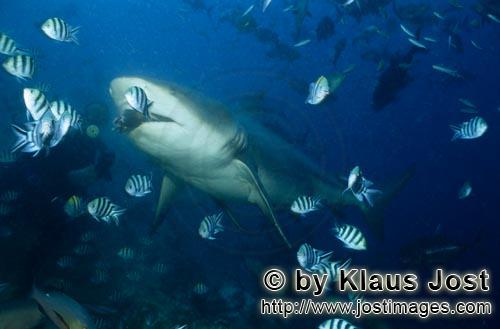 Bull Shark/Carcharhinus leucas        Bull shark takes the fish bait        Together with the Tiger