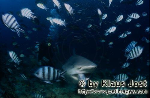 Bull Shark/Carcharhinus leucas        Bull shark with fish bait in its mouth        Together with th