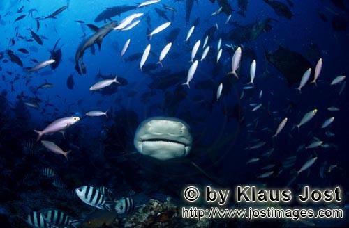 Bull Shark/Carcharhinus leucas        Bull shark approaching frontal        Together with the Tiger