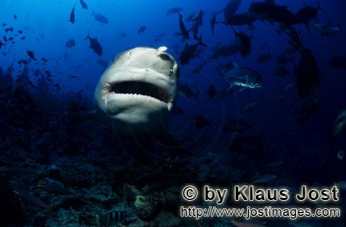 Bull Shark/Carcharhinus leucas        Bull Shark frontal        Together with the Tiger Shark and th