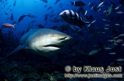 Bull Shark/Carcharhinus leucas        Bull Shark explores the reef        Together with the Tiger Sh