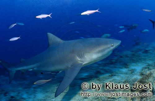 Bull Shark/Carcharhinus leucas        Bull shark comes from blue depth        Together with the Tige