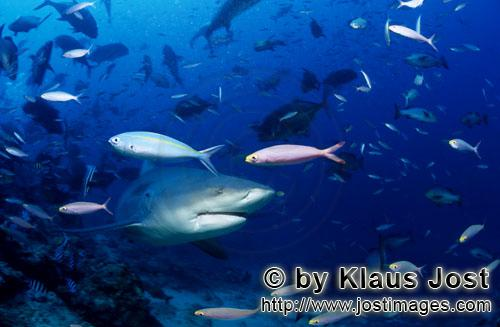 Bull Shark/Carcharhinus leucas        Bull shark in the school of fish        Together with the Tige