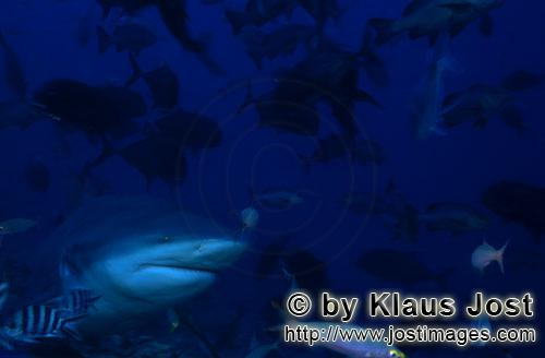 Bull Shark/Carcharhinus leucas        Bull shark comes from the dark water        Together with the