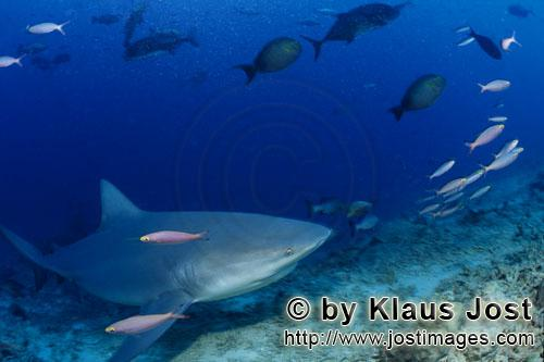 Bull Shark/Carcharhinus leucas        Bull Shark reached the reef        Together with the Tiger Sha