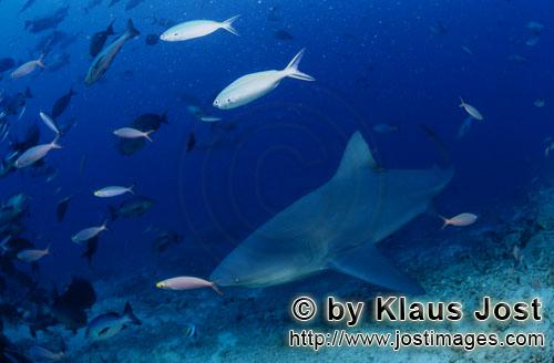 Bullenhai/Bull Shark/Carcharhinus leucas        Bull shark swims along the reef        Together with
