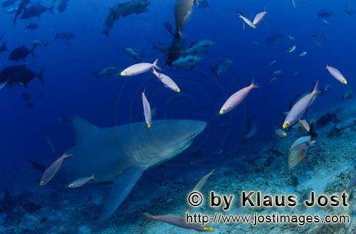 Bull Shark/Carcharhinus leucas        Bull shark on the reef slope        Together with the Tiger Sh