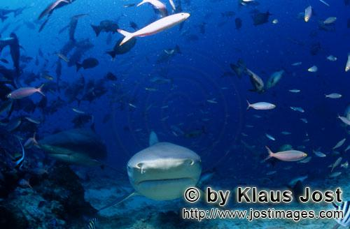 Bull Shark/Carcharhinus leucas        Two Bull sharks approaching frontal        Together with the T