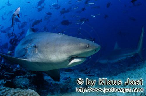 Bull Shark/Carcharhinus leucas        Bull Shark changes the direction         Together with the Tig