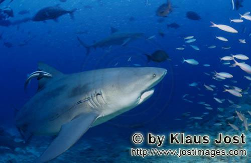Bull Shark/Carcharhinus leucas        Bull Shark with fishing hook in the gills        Together with