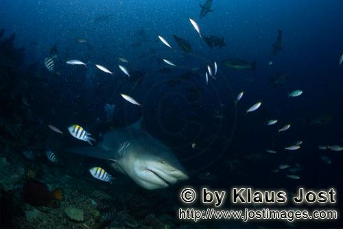 Bull Shark/Carcharhinus leucas        Bull shark comes from the blue depths        Together with the