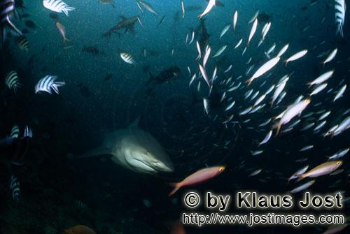 Bull Shark/Carcharhinus leucas        Bull shark and colorful coral fish        Together with the Ti