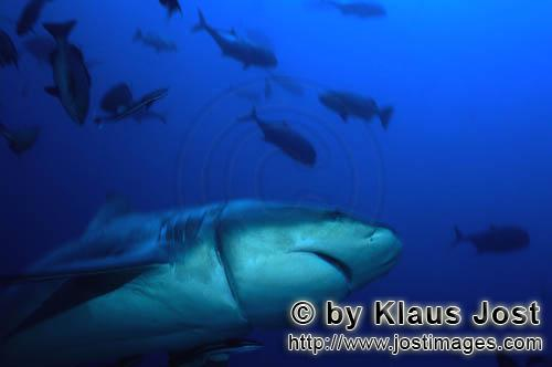 Bull Shark/Carcharhinus leucas        Bull shark with longline injury        Together with the Tiger