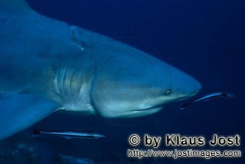 Bull Shark/Carcharhinus leucas        Bull shark with deeply incised longline        Together with t