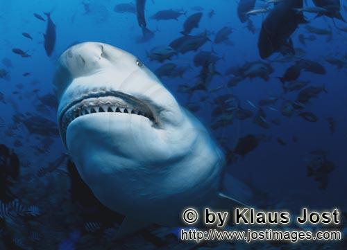Bullenhai/Bull Shark/Carcharhinus leucas        Bull Shark shows its teeth        Together with the
