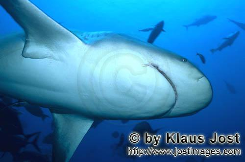 Bull Shark/Carcharhinus leucas        Bull shark underside        Together with the Tiger Shark and
